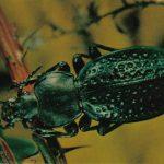 Жужелица морщинистая  150x150 - Жуки