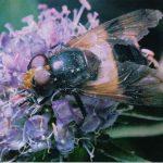 Журчалка прозрачная 150x150 - Прочие насекомые