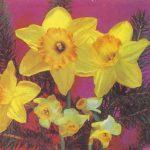 Жёлтые нарциссы 150x150 - Цветы