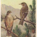 Завирушка альпийская 150x150 - Птицы