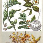 Завоевавшие весь мир 150x150 - Удивительные растения