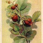 Земляника 150x150 - Различные растения