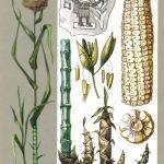 Злаки великаны 150x150 - Удивительные растения