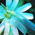 Златоглазка 150x150 - Прочие насекомые