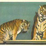Зондские тигры 150x150 - Ленинградский Зоопарк