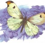 Зорька дальневосточная  150x150 - Бабочки
