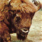 Зубр  150x150 - Другие животные