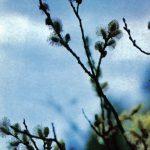Ива цветущая 150x150 - Различные растения