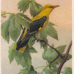 Иволга 150x150 - Птицы
