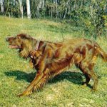 Ирландский сеттер  150x150 - Другие животные