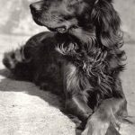 Ирландский сеттер 150x150 - Собаки чёрно-белые