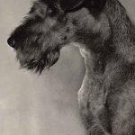 Ирландский терьер 150x150 - Собаки чёрно-белые