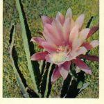 Кактус 1 150x150 - Цветы