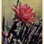 Кактус 2 150x150 - Цветы