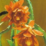 Кактус 4 150x150 - Цветы