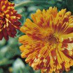 Календула 150x150 - Цветы