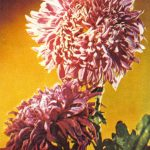 Калинетт 150x150 - Цветы