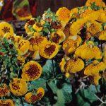 Кальцеолярия 150x150 - Цветы