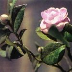 Камелия 1 150x150 - Цветы