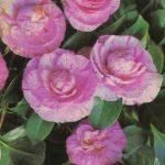 Камелия 2 150x150 - Цветы