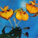 Каянус двуцветный 150x150 - Цветы