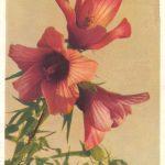 Китайская роза 150x150 - Цветы