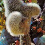Клейстокактус Штрауса гребенчатая форма 150x150 - Цветы