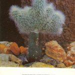 Клейстокактус Штрауса 150x150 - Цветы