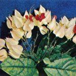 Клеродендрон Томсона 150x150 - Цветы