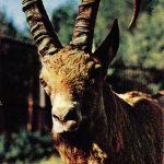 Козерог сибирский  150x150 - Другие животные