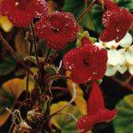 Колерия гибридная 150x150 - Цветы
