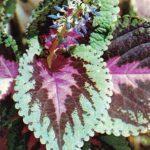 Колеус гибридный 150x150 - Цветы