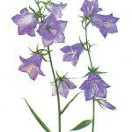 Колокольчик персиколистный 150x150 - Цветы