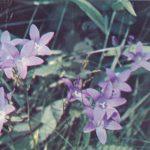 Колокольчик раскидистый 150x150 - Цветы