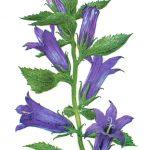 Колокольчик широколистный 150x150 - Цветы