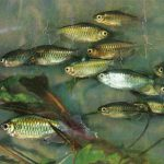 Конго 150x150 - Аквариумные рыбки