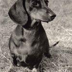 Короткошерстная такса 150x150 - Собаки чёрно-белые