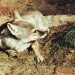 Корсак  150x150 - Другие животные
