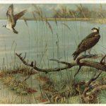 Коршуны рыболовы 150x150 - Птицы