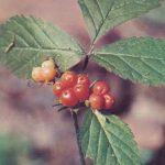 Костяника 150x150 - Различные растения