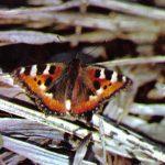 Крапивница  150x150 - Бабочки