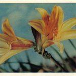 Красноднев оранжевый 150x150 - Цветы