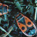 Красноклоп бескрылый  150x150 - Жуки