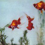 Красный драконов глаз с вращающимися отростками 150x150 - Аквариумные рыбки