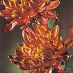 Красный жаворонок 150x150 - Цветы