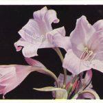 Кринум 150x150 - Цветы