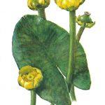 Кубышка  150x150 - Цветы