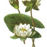 Кувшинка белая 150x150 - Цветы