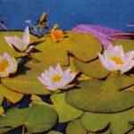 Кувшинка белоснежная 150x150 - Цветы