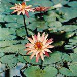 Кувшинка гибридная 150x150 - Цветы